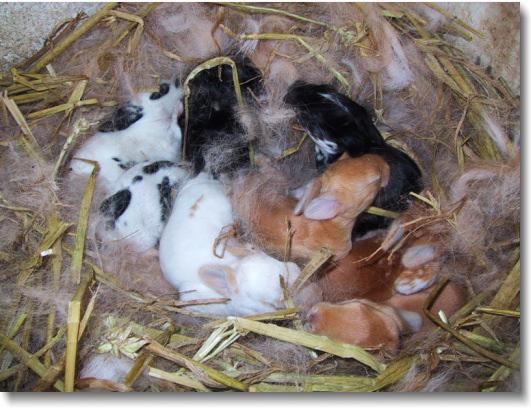 baby-rabbits